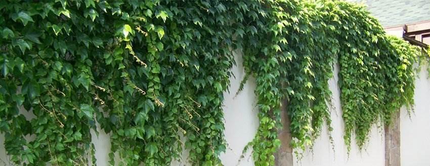 кирпичный-забор-живая-изгородь